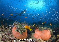 anemones and lots of fish by Geoff Spiby