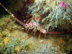 A common crayfish taken at Three Sisters in Port Elizabet... by Anthony Wooldridge