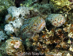 two lizard fish and pyjama slug by John Naylor