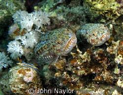 two lizard fish and pyjama slug by John Naylor