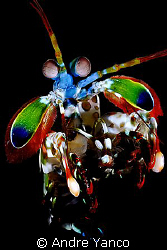 A little bit of playful creation. Mantis shrimp captured ... by Andre Yanco