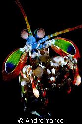 A little bit of playful creation. Mantis shrimp captured ... by Andre Yanco