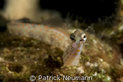 pipefish portrait taken with Canon 400D/Hugyfot by Patrick Neumann