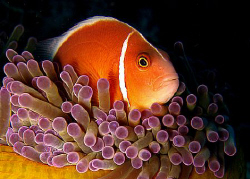 Saw this curious pink anemone fish during a night dive in... by Paz Maria De Vera-Santos