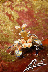 arlequin shrimp in Richelieu Rock by Adriano Trapani