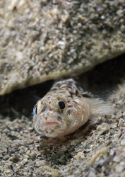 Painted goby. D200, 60mm. by Derek Haslam