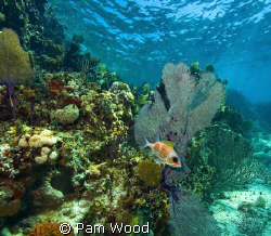 Squirrelfish in the Coral Sea.  Shot in Bimini, Bahamas. by Pam Wood