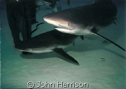 Unexo Shark dive. used NikonosV with 20mm lens and 105 st... by John Harrison