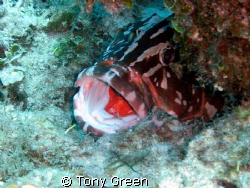 Nassau Grouper and Cleaner on reef. by Tony Green