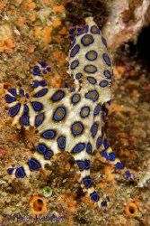 Blue Ringed Octopus. No cropping straight out of the came... by Debi Henshaw