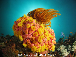 Interesting coral. Anilao, Philippines