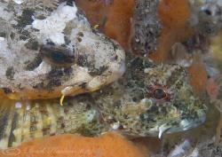 Long spined scorpion fish mating. Menai straits. D200, 60mm. by Derek Haslam