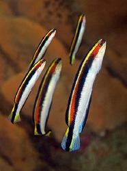 Eastern Hulafish, Bare Island by Doug Anderson