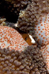 """Hiding"" Skunk Anemonefish hiding in its host anemone fro... by Debi Henshaw"