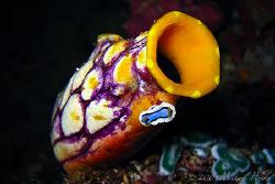 Nudibranch(Chromodoris annae) on a golden sea squirt (Pol... by Michael Henke
