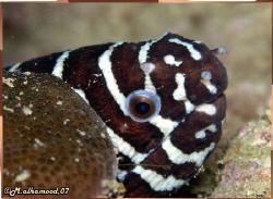 Zebra Eel............. It was taken in Jana Island \ Saud... by Mohammed Al Hamood