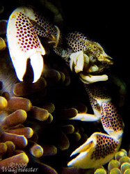 Porcelain Crab  (Neopetrolisthes maculata) in Anemone (St... by Marco Waagmeester