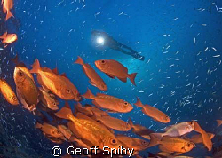 a school of bigeyes amongst the baitfish by Geoff Spiby