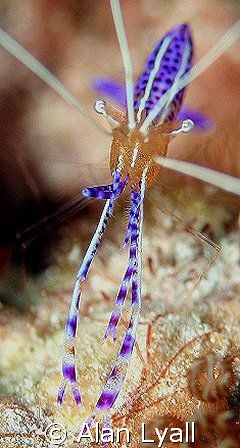 Pederson's Cleaner Shrimp - enjoying a spot of lunch - fi... by Alan Lyall