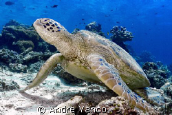 There is nothing more abundant in Sipadan then turtles.  ... by Andre Yanco