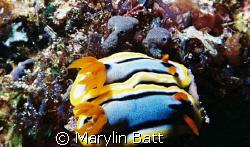 2 Nudi's mating.  Atlantis Resort Puerto Galera. Nikonos... by Marylin Batt
