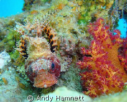 Pygmy lion fish lying on coral. by Andy Hamnett