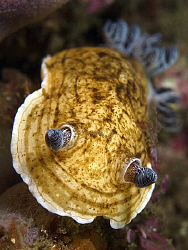 Aphelodoris varia, Bare Island by Doug Anderson