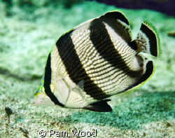 Banded Butterfly fish taken in Bimini, Bahamas. by Pam Wood
