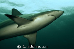 One of about 40 blacktips around us on the Aliwal Shoals.... by Ian Johnston