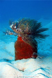 Feather Tube Worm in Majuro Lagoon by Debra Burnsworth