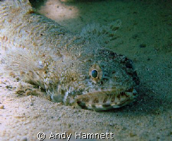 Lizard fish lurking in the sand by Andy Hamnett