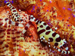 Coleman Shrimps (Periclimenes colemani) on sea urchin (As... by Marco Waagmeester