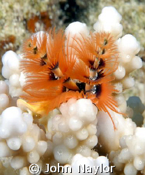 christmas tree worm by John Naylor