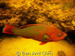 Parrot fish seen while swiming at high tide in the mangrove. by Ben And Chris