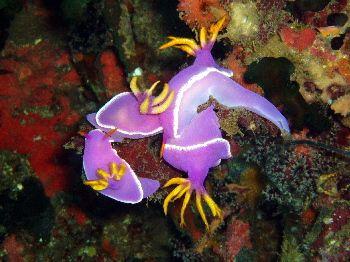 Petite partouze de nudibranches / Philippines by Philippe Brunner
