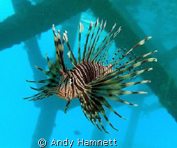 Lionfish under the pier by Andy Hamnett