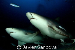 two bull sharks swiming towars my camera, Playa del Carme... by Javier Sandoval