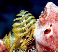 Yellow Christmas tree worm with pink sponge by Alan Lyall