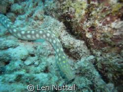 Sharptail Eel..  Didnt want his picture taken...took seve... by Len Nuttall