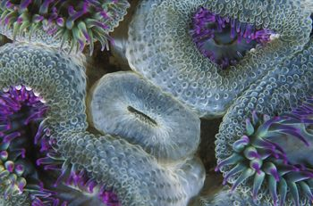 I came across this cluster of little anemones on Wilson's... by Justin Lewis