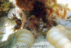 Lovers tiff, two hollow back shrimps standing back to bac... by Andy Hamnett