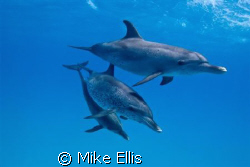 All good thins come in 3's.....Atlantic spotted dolphins ... by Mike Ellis