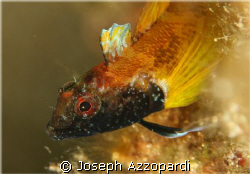 Black faced blenny. The body is elongated and spindle-sha... by Joseph Azzopardi