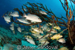 Snapers hiding inside soft coral by Javier Sandoval