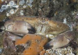 Edible Crab. Menai straits. D200, 60mm. by Derek Haslam