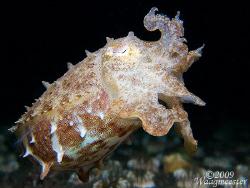 Little Cuttlefish - Puri Jati, Bali (Canon G9, Inon D2000... by Marco Waagmeester