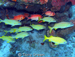 Grunts and soldiers together on a reef. by Tony Green