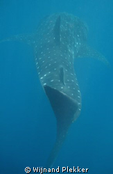In the slipstream of a Whaleshark by Wijnand Plekker
