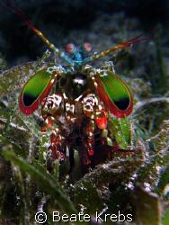 Mantis shrimp , taken at Wakatobi with Canon S70 and Clos... by Beate Krebs