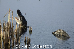 Gator At  Lake Woodruff FL. by Ray Eccleston